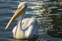 White pelican swimming on the sea, isolated, closeup. Royalty Free Stock Image