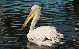 White pelican swimming on the sea, isolated, closeup. Stock Images