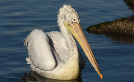 White pelican swimming on the sea, isolated, closeup. Royalty Free Stock Photos