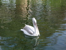 White pelican swimming on the water in Antwerp Zoo. Picture of a white pelican swimming on the water in Antwerp Zoo Royalty Free Stock Image