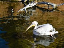 a white pelican swimming on the water of a pond. The pelican is swimming moving its legs and creating waves on the quite water. stock image