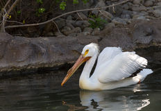 White Pelican. A white pelican swims in a pond Stock Photos