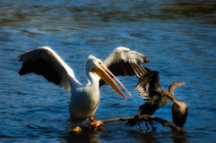 White Pelican and Two Double-crested Cormorants Stock Photography