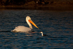 White Pelican on Water. White Pelican (Pelecanus onocrotalus) on Water Stock Photo