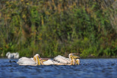 White Pelican on Water. Fishing Royalty Free Stock Images