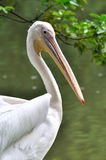 A white pelican beside water. Shown as beautiful and living status of wildlife Stock Photo