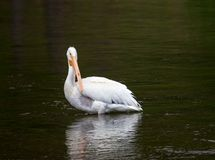 White Pelican. A white pelican in the water Stock Photos
