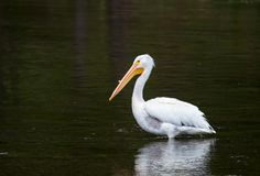White Pelican. A white pelican in the water Stock Image