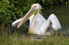 White pelican on the water Royalty Free Stock Images