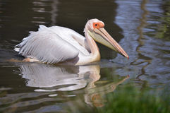White pelican on the water. Closeup white pelican, Pelecanus onocrotalus on the water with reflection Stock Photography
