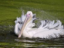 White pelican on the water. Closeup of white pelican Pelecanus onocrotalus on the water shaking its wings with sprays of water Stock Images