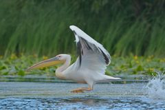 White Pelican on water Stock Photography
