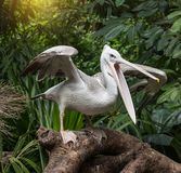 White Pelican in water-land. A White Pelican in water-land Stock Photo