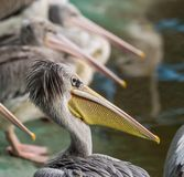 White Pelican in water-land. In zoo Stock Photo