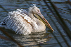 White pelican is on the water. In the pond Stock Images