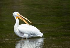 White Pelican. A white pelican in the water Stock Images