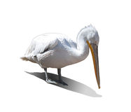 White Pelican on a white background Royalty Free Stock Image