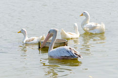 White Pelican and White Duck royalty free stock photos