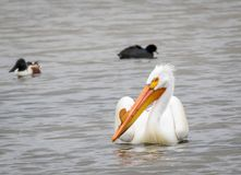 White Pelican. A White Pelican swims in a pond at Market Lake Wildlife Refuge near Roberts, Idaho Stock Photography