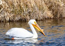 White Pelican. A White Pelican swims in a pond at Market Lake Wildlife Refuge near Roberts, Idaho Royalty Free Stock Image