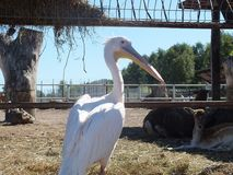 White Pelican. In a zoo resting Stock Photos