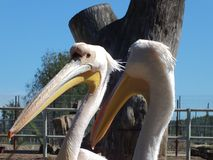 White Pelican. In a zoo resting stock image