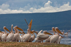 The white pelican who sings Royalty Free Stock Image