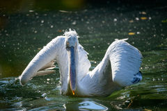 White Pelican Royalty Free Stock Photo