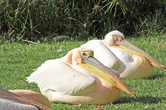White pelicans Stock Image