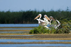 White Pelicans Stock Photo