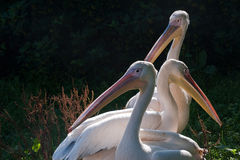 White pelicans Royalty Free Stock Photos