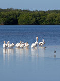 White pelicans stock images
