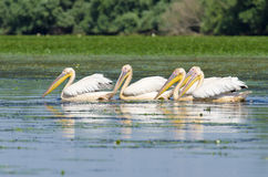 White Pelicans. White Pelican in danube delta Royalty Free Stock Photos