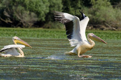 White Pelicans. In danube delta Royalty Free Stock Photos