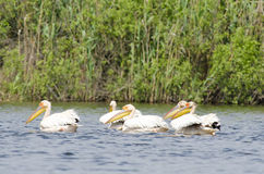 White Pelicans Stock Photos