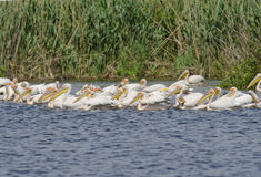 White Pelicans. White Pelican in danube delta Royalty Free Stock Photo