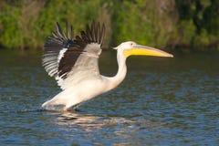 White Pelicans stock photos