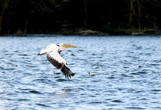 White Pelicans above water showing its wingspan Stock Photos