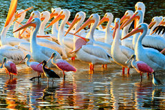 White Pelicans And Spoonbills Royalty Free Stock Photos