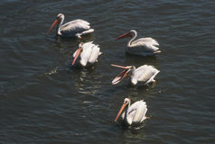 White Pelicans Assembly Stock Photo