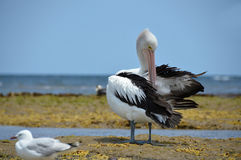 White pelicans Australian resting on the coast of Australia Stock Image
