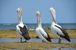 White pelicans Australian resting on the coast of Australia Stock Photography