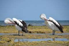 White pelicans Australian resting on the coast of Australia Royalty Free Stock Images