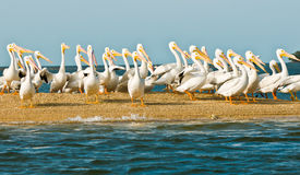 White Pelicans at Big Cypress Preservation Royalty Free Stock Photos