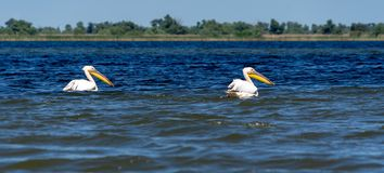 White pelicans on blue Danube delta. During a birdwatching tour on Danube delta at Spring, Pelican couple observed in a protected area stock image