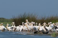 White Pelicans Colony Royalty Free Stock Photo