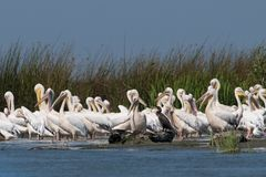 White Pelicans Colony Royalty Free Stock Images