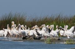 White Pelicans Colony Stock Images