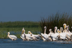 White Pelicans Colony Stock Image