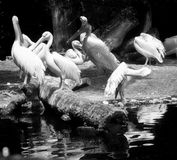 White pelicans colony Stock Photos